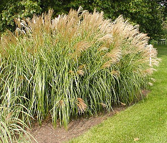 Grass miscanthus sinensis gracillimus liners eulalia for Ornamental grasses that stay green all year