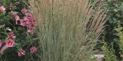 Grass, Ornamental