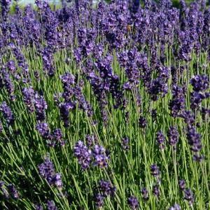 Lavender, Vera, English
