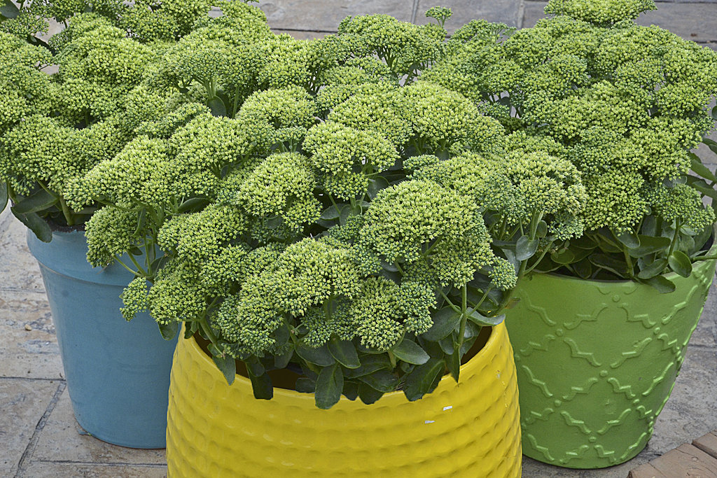 Sedum, Lemon Jade Rock 'N Grow®
