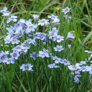 Blue Eyed Grass (Sisyrinchium bellum) Plug Flat