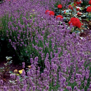 Lavender, Hidcote Superior, English