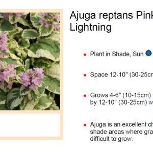 Ajuga, Pink Lightning