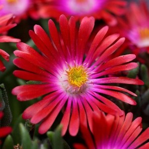 Delosperma, (Ice Plant) Jewel Of Desert Garnet