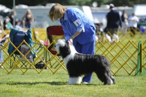 Ace's first show! GSBCC Sept 2013 Best in Sweeps!
