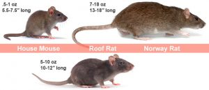 Pest Rodents - Moore Pest Solutions ~ Oregon, Washington, Idaho