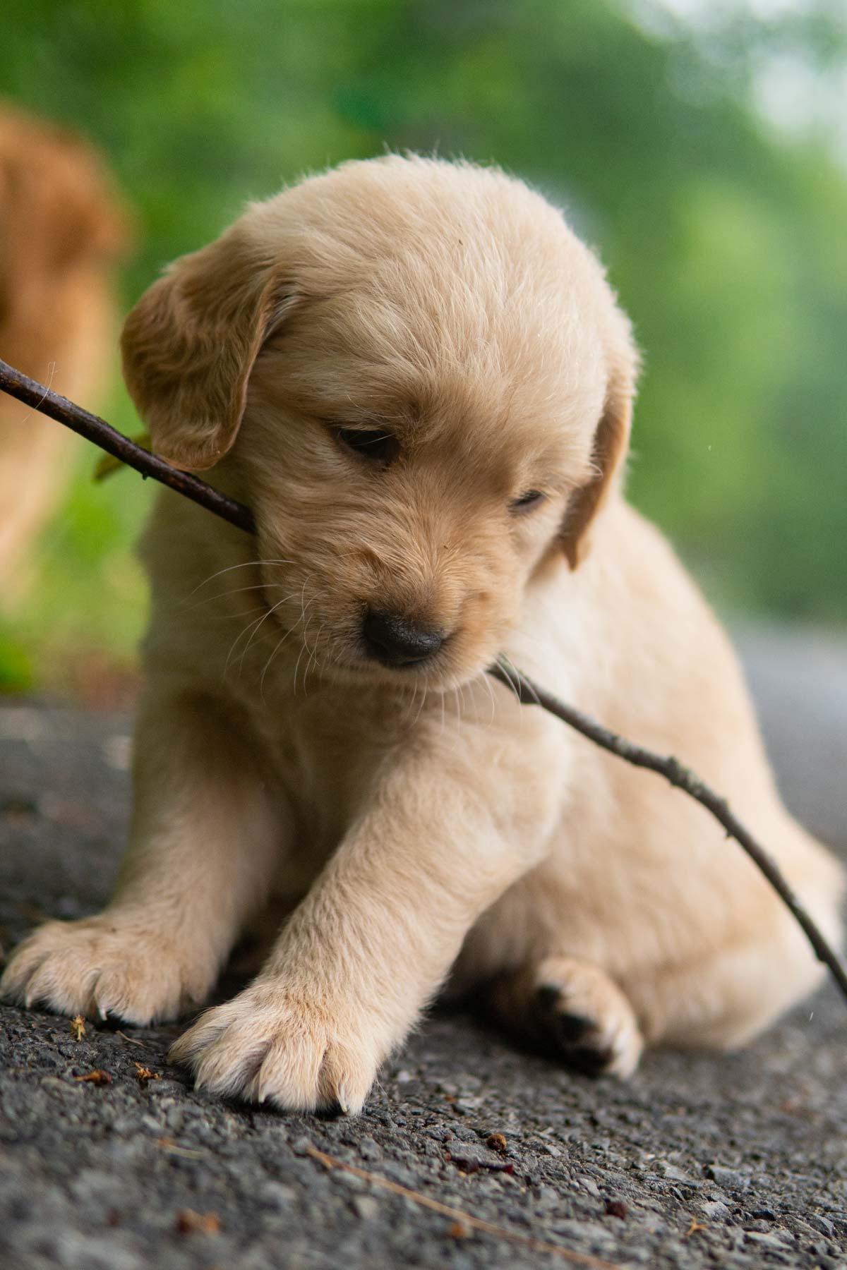 dash moose golden retrievers puppies