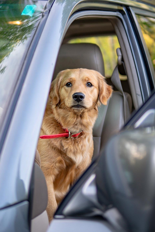 Maggie Moose Golden Pup, Land Cruiser 100 Series