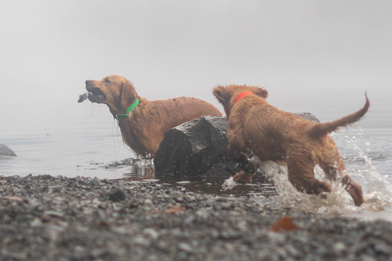 moose goldens adirondack foggy lake by mike hosier