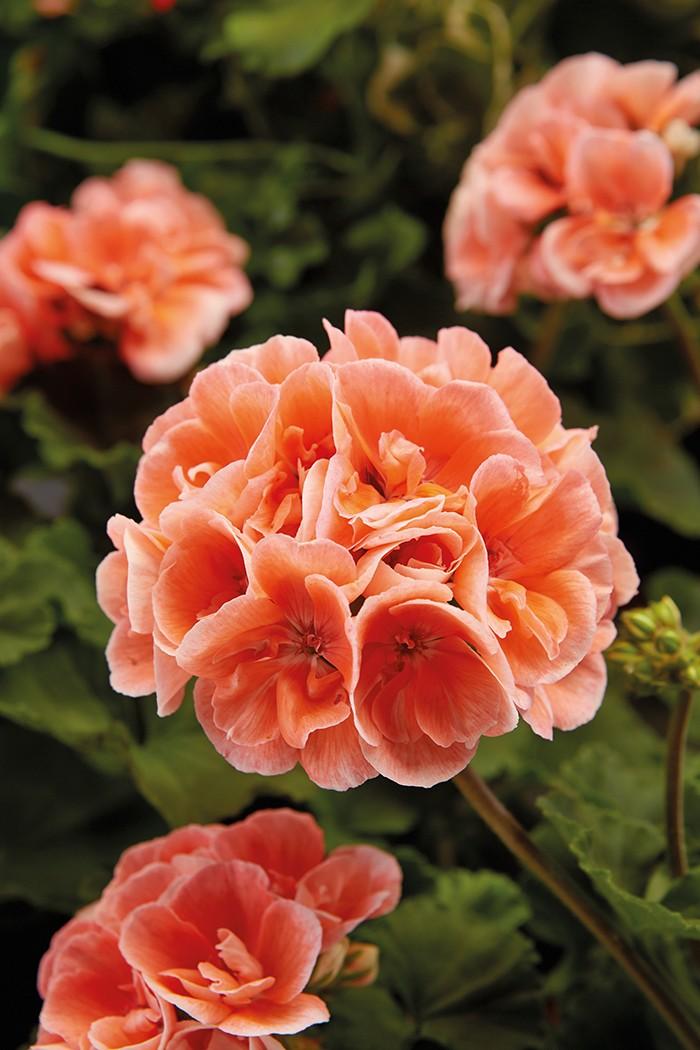 geranios rosas