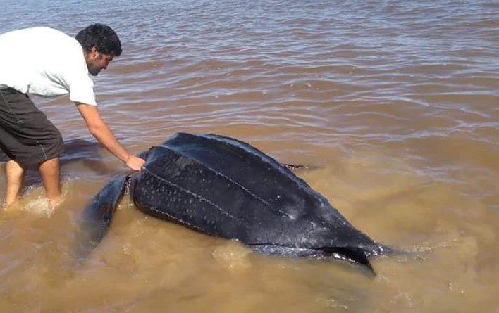 Apareció una tortuga gigante en Arazatí