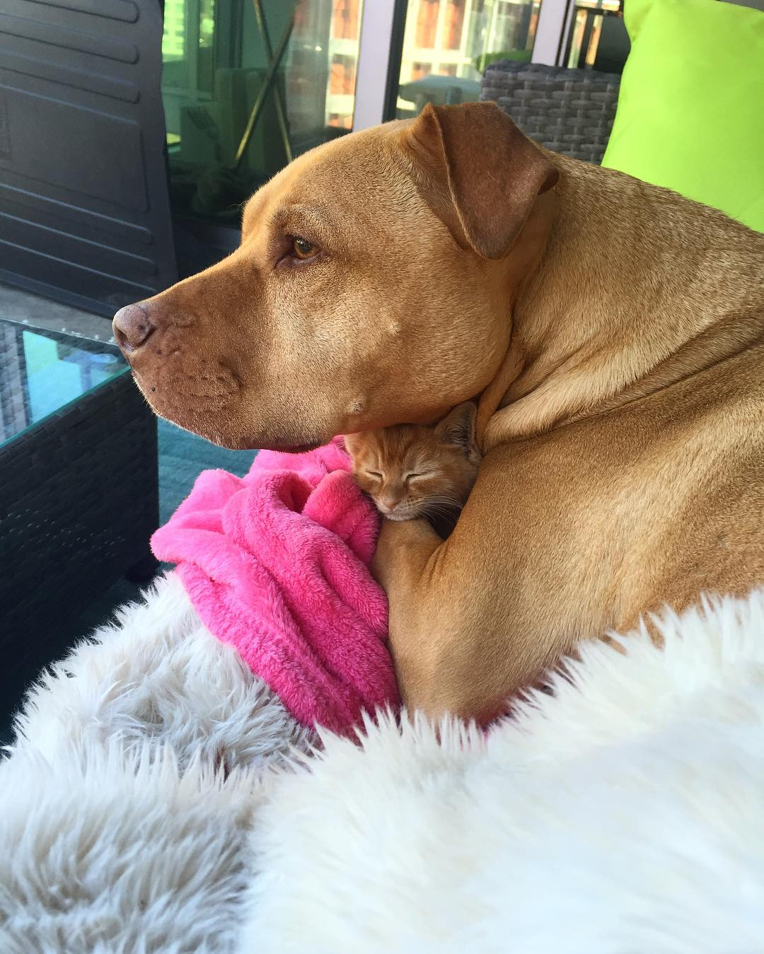 dog-likes-cats-ginger-pit-bull-bubba-loves-rue-15