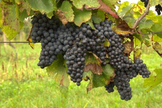 Vinohrady nad Vnorovy.