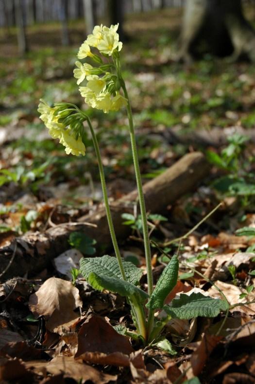 Prvosenka vyšší (Primula elatior (L.) Hill)