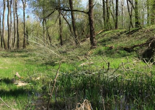 Iniciální stádium měkkého luhu v Jihomoravském úvalu - zazemněné koryto řeky Moravy (LT 1U2 Vrbový (vrbotopolový) luh).