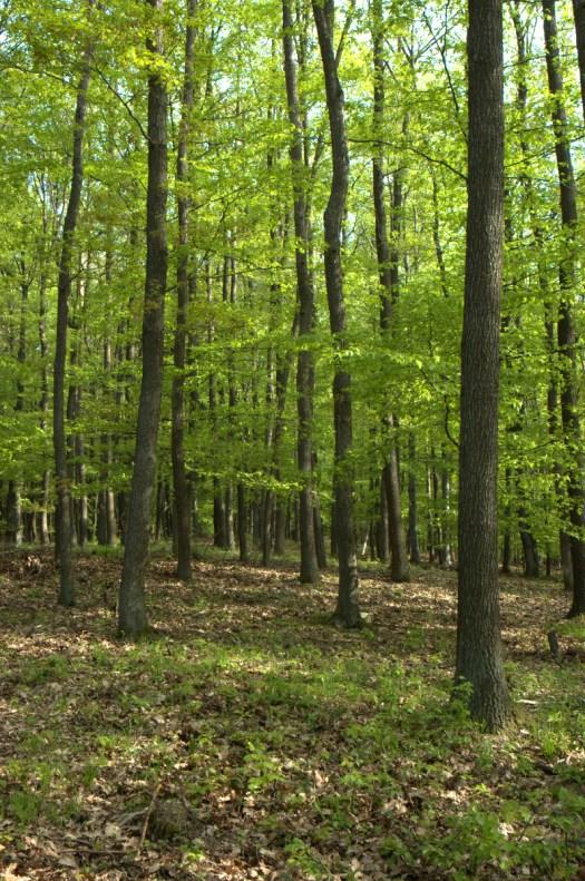 Společenstvo dubových bučin, lokalita: Na sýkornici, Liptálské hřbety, PLO 41, SLT 3B.
