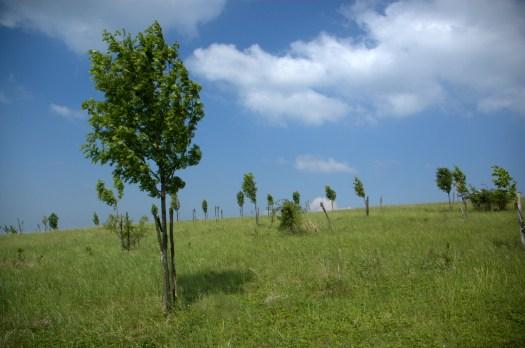 Mladé výsadby jeřábu oskeruše (Sorbus domestica L.).