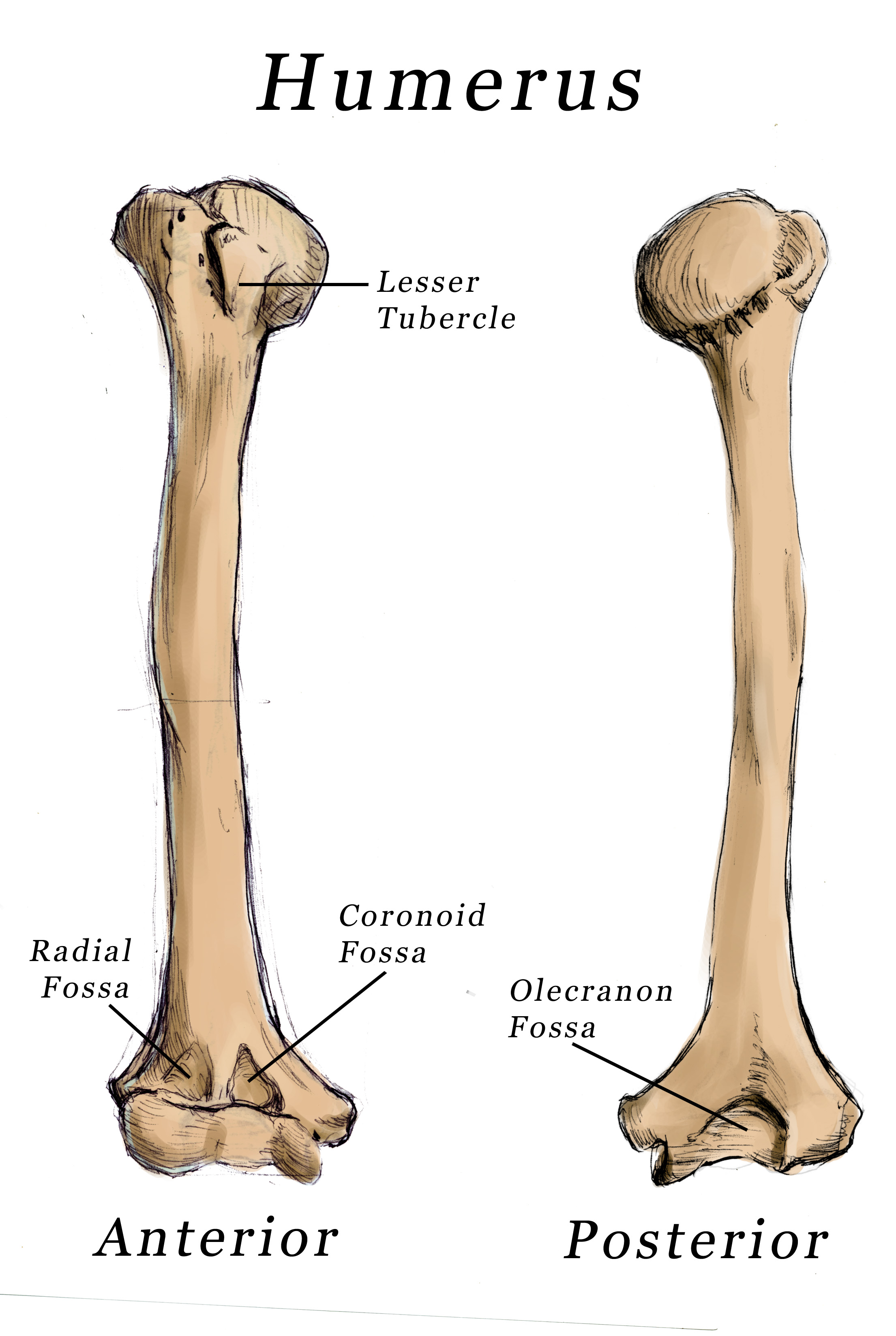 humerus bone diagram structure of chromosome with