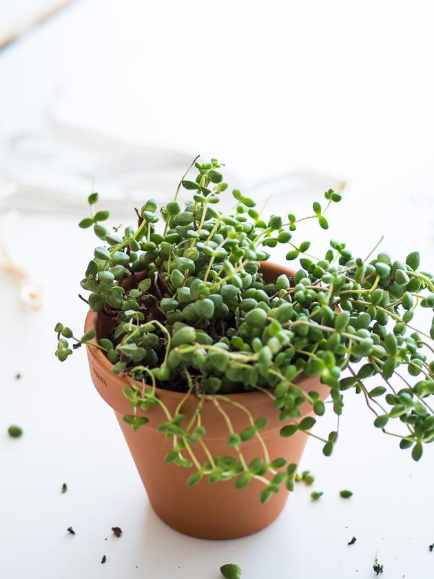 DIY Makramee Blumenampel_Erbsenpflanze