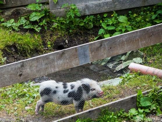 Gasteinertal mit Kindern_Bauernhoftiere