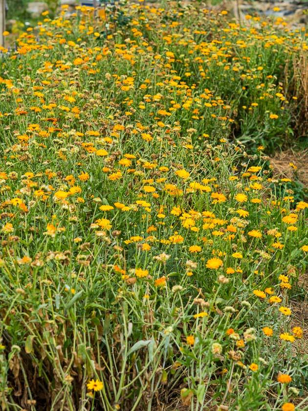 Landlofts von Sonnentor_Ringelblumen