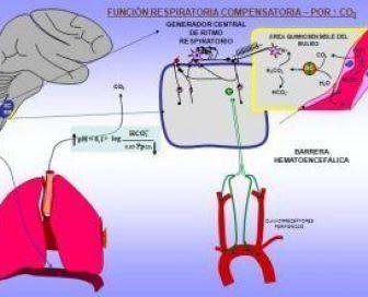Esquema del Mecanismo que regulan el pH en el organismo humano y la función compensatoria respiratoria por el anhídrido carbónico