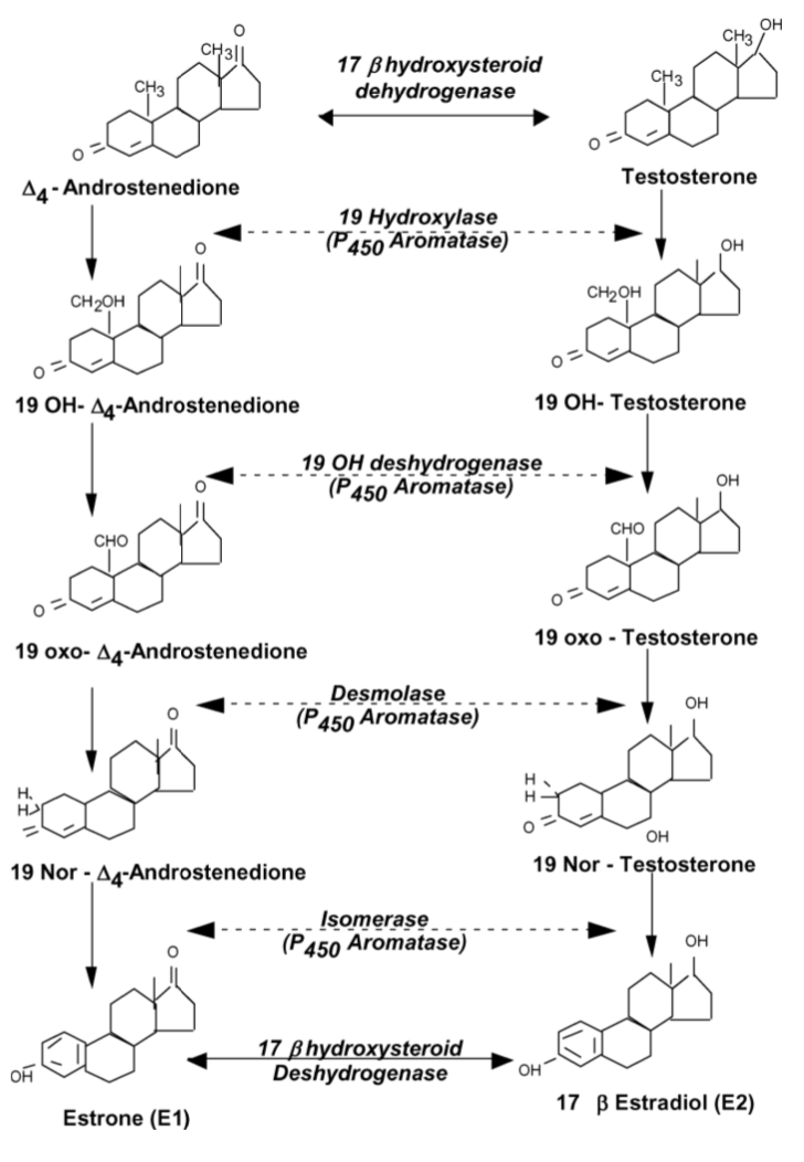 Synthesis Of Nandrolone Endogenously Chart