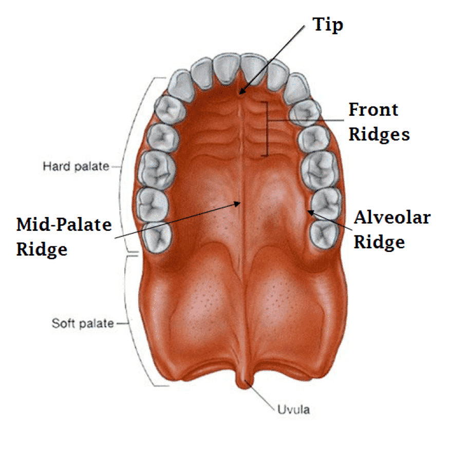 anatomy of the roof of the mouth for mewing illustration