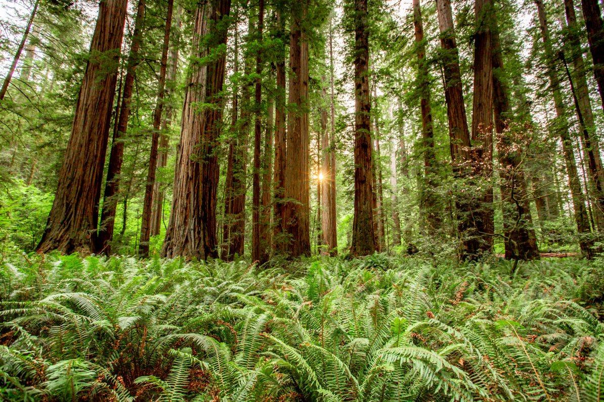 redwood in spring