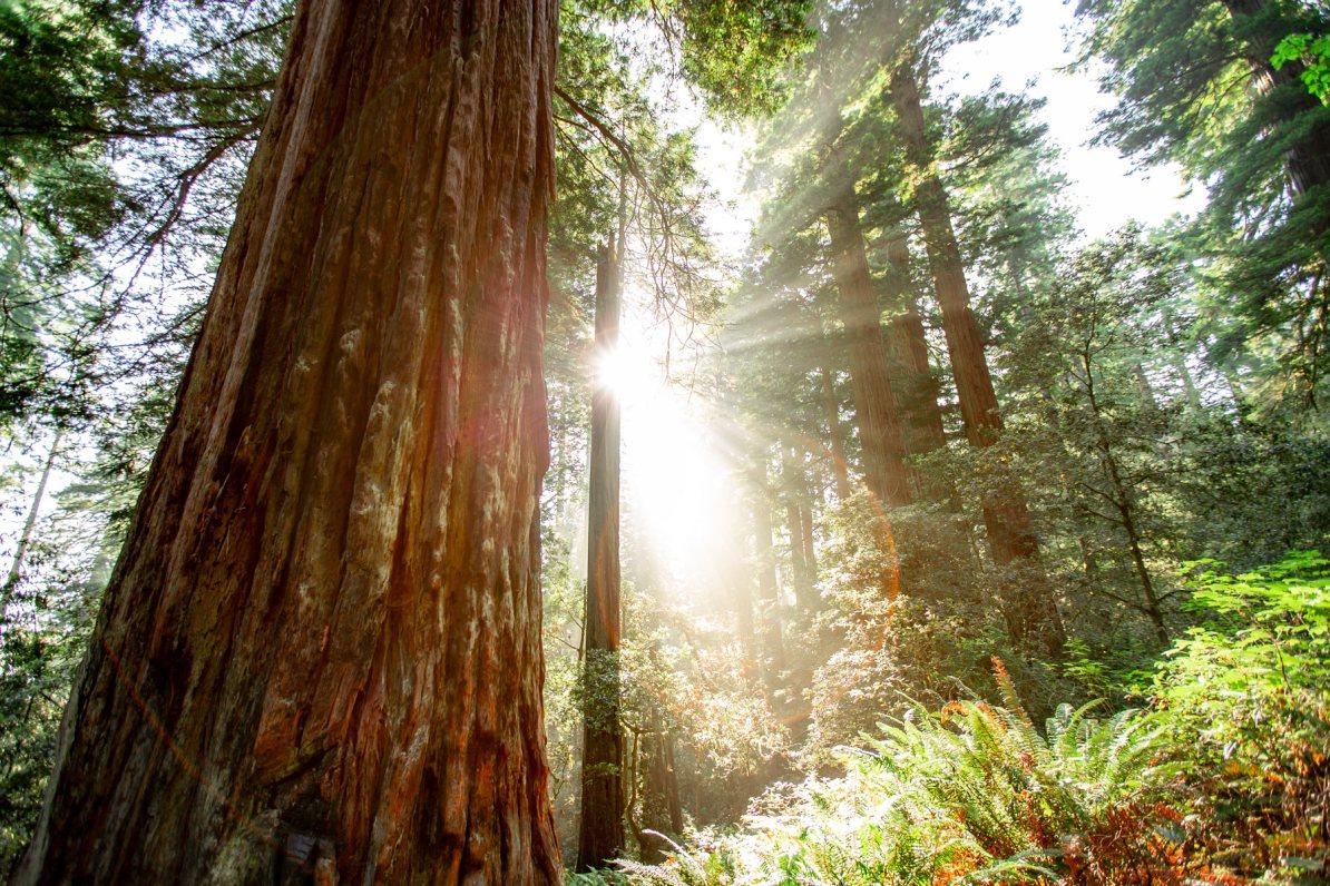 redwood in summer
