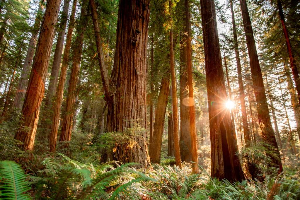 lady bird johnson grove redwood national park