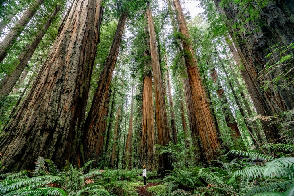 stout grove redwood national park