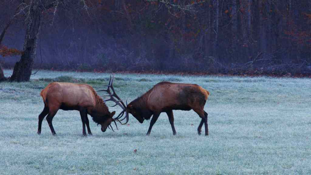 Elk rut in Great Smoky Mountains