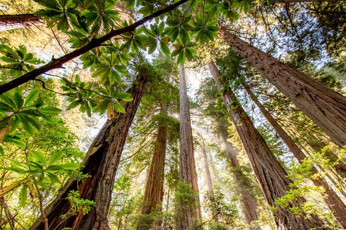 redwood forest redwood national park