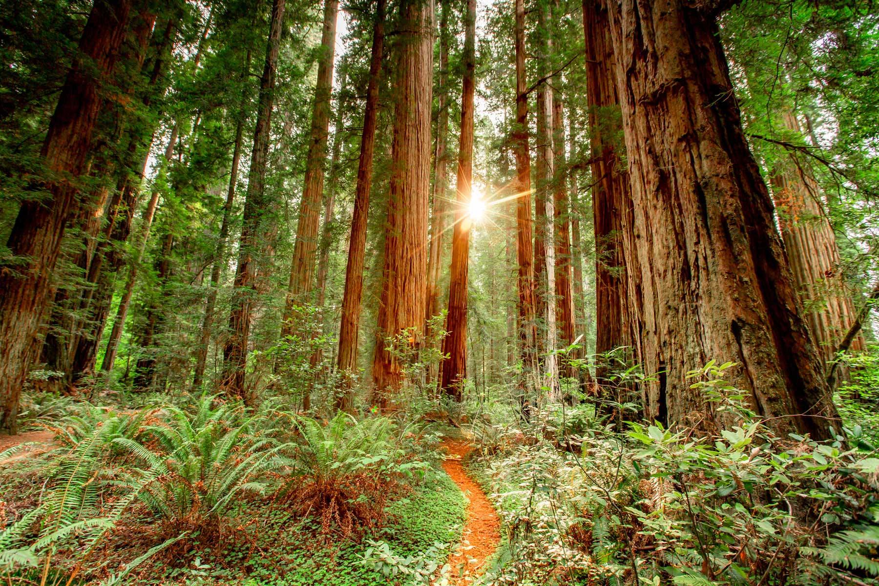 stout grove sunset redwood national park