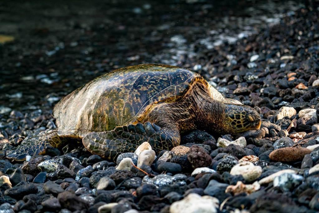 haleakala sea turtle