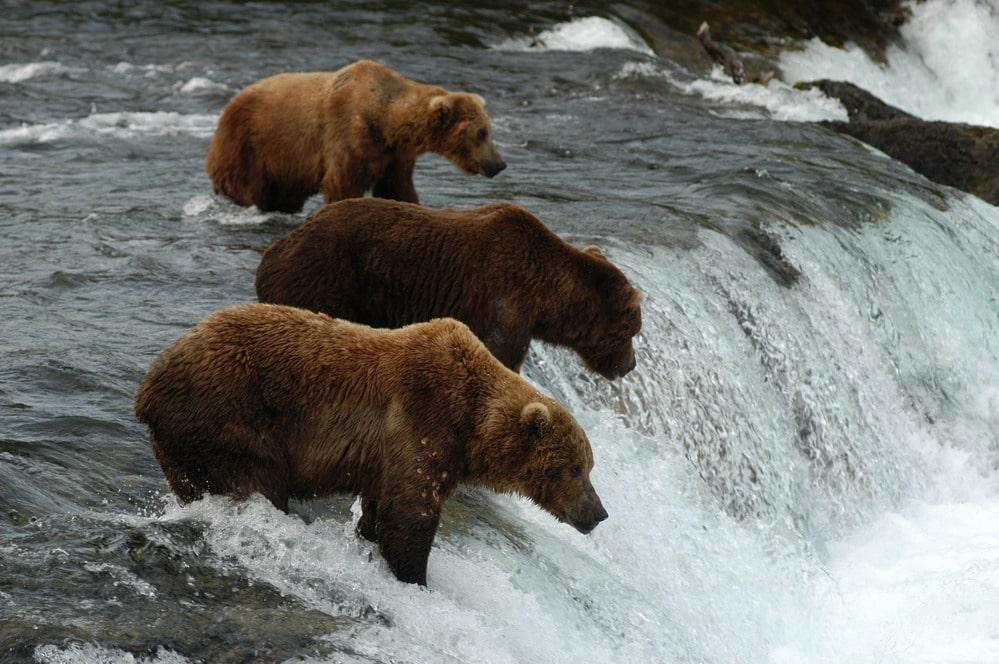 katmai national park alaska bears, national parks wildlife