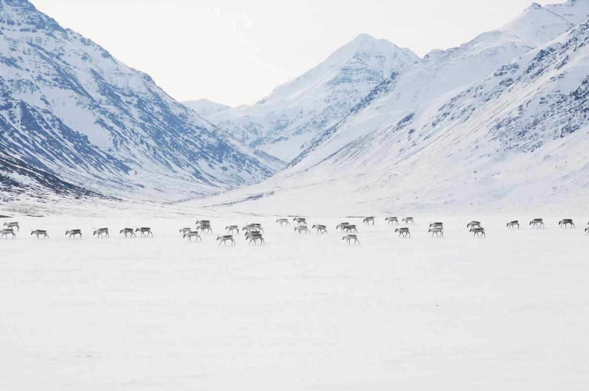caribou gates of the arctic national park alaska