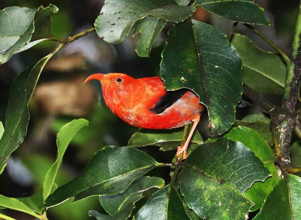 iiwi bird hawaii national volcanoes things to do