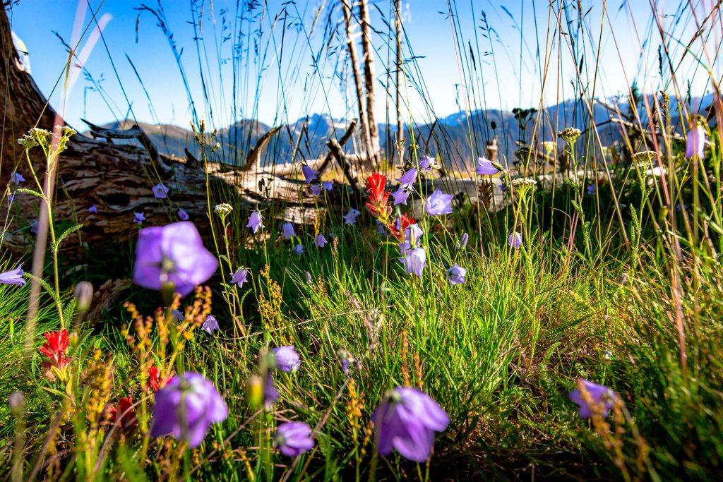 wildflowers olympic national park washington