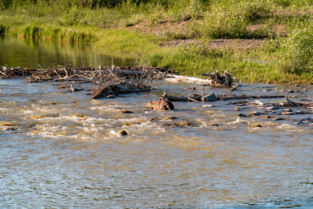 beaver grand teton national park wyoming upper schwabacher landing