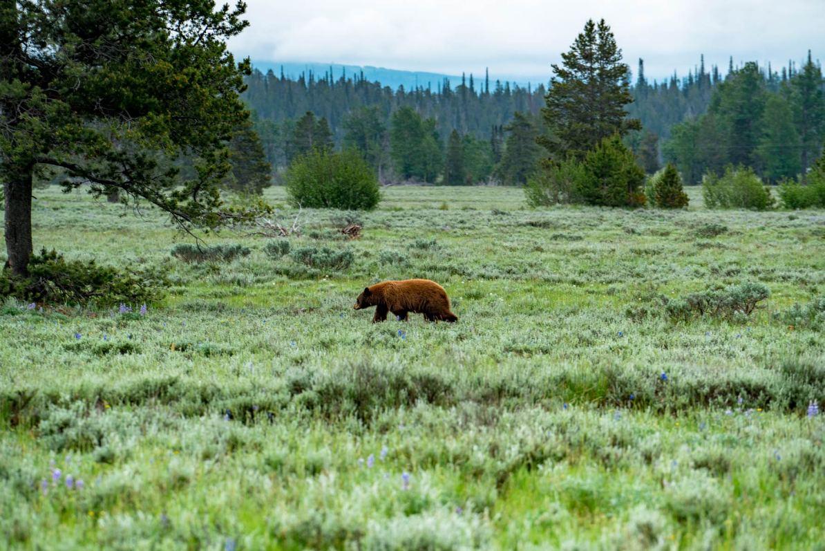 grand teton in summer, bear grand teton national park wyoming, national parks wildlife