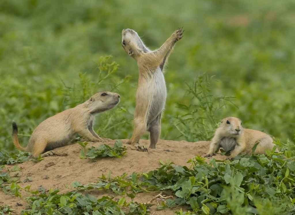Badlands Prairie Dogs, National Park Wildlife