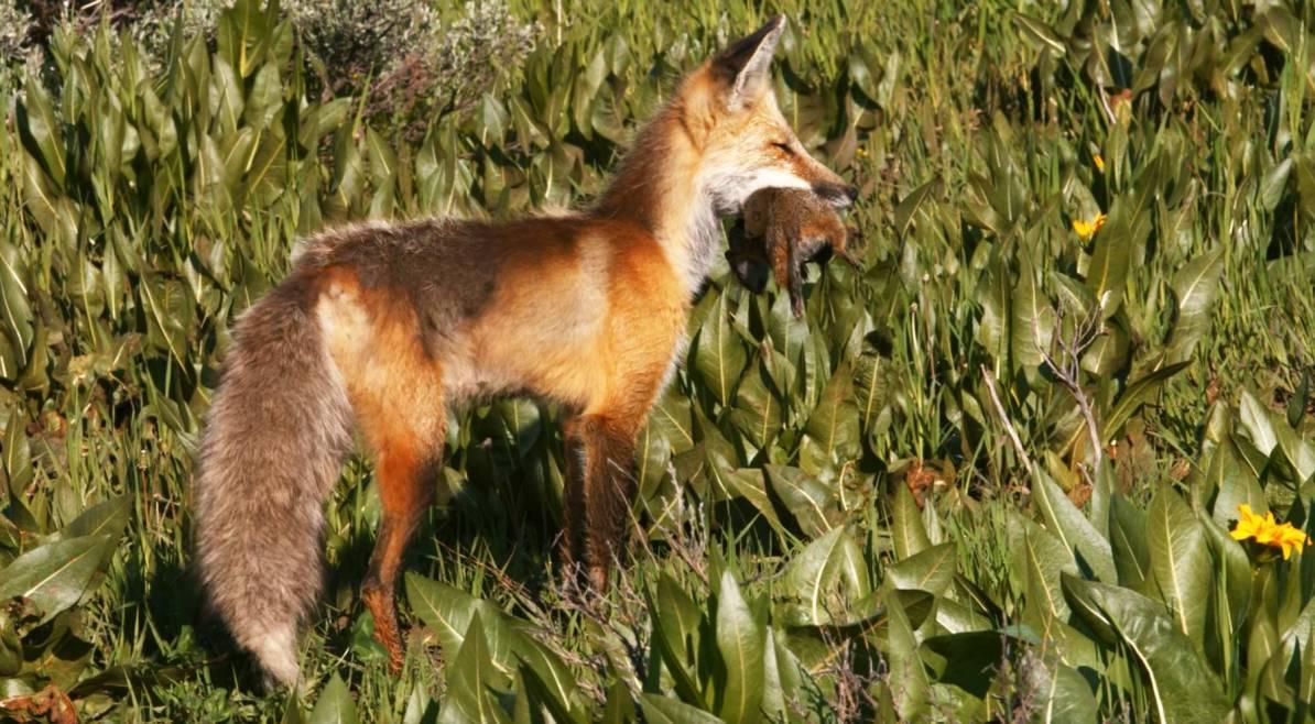 grand teton national park fox