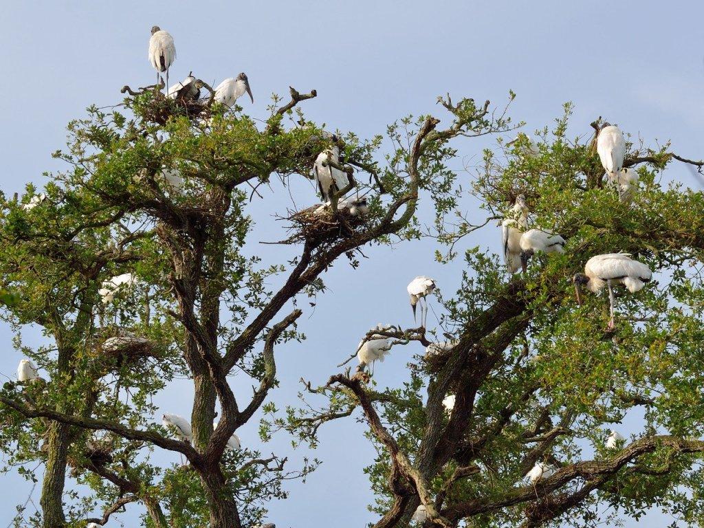 wood storks, wildlife, nesting-1572904.jpg