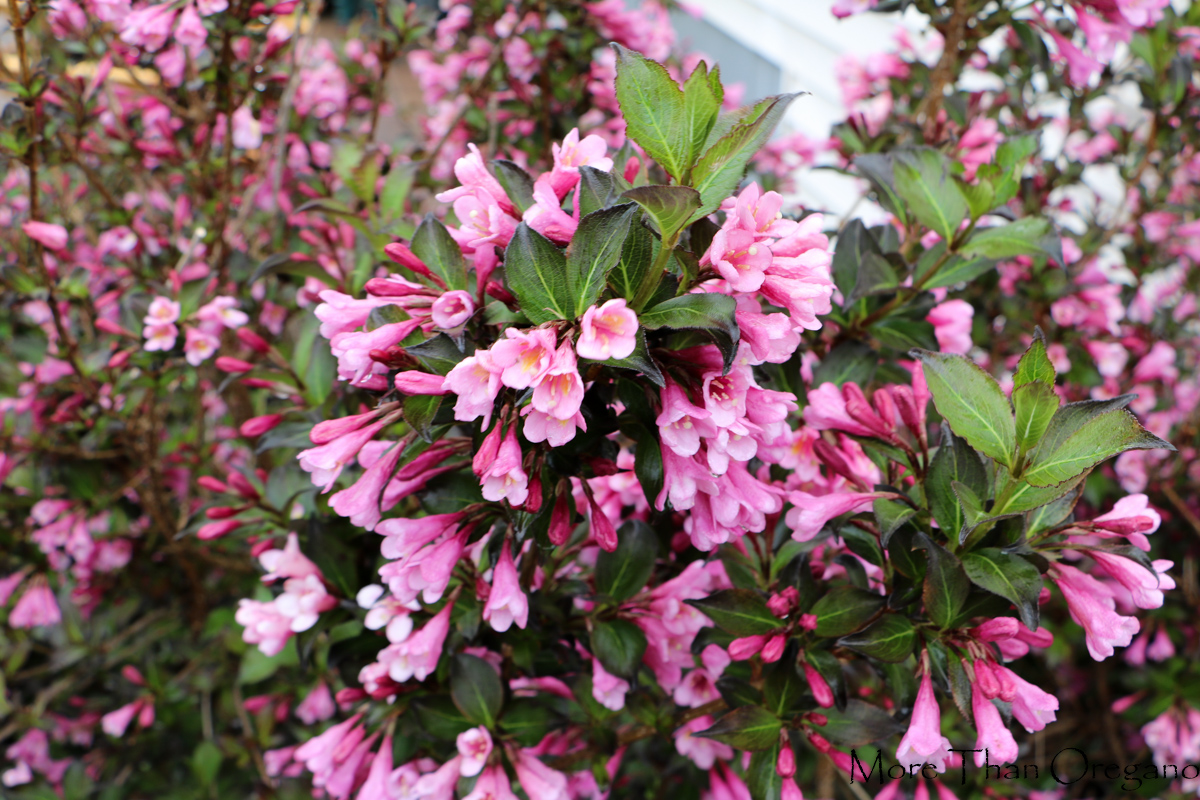 Blooming_Weigela1