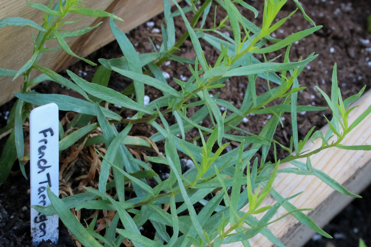 French_Tarragon1