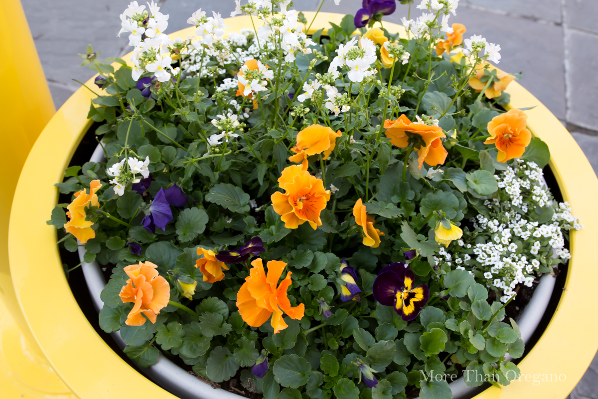 Orange_Ruffled_ Garden_Pansy
