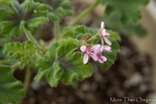 Chocolate scented geranium