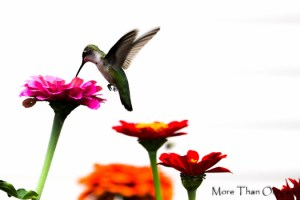 Wordless Wednesday ~ Hummingbird Hover